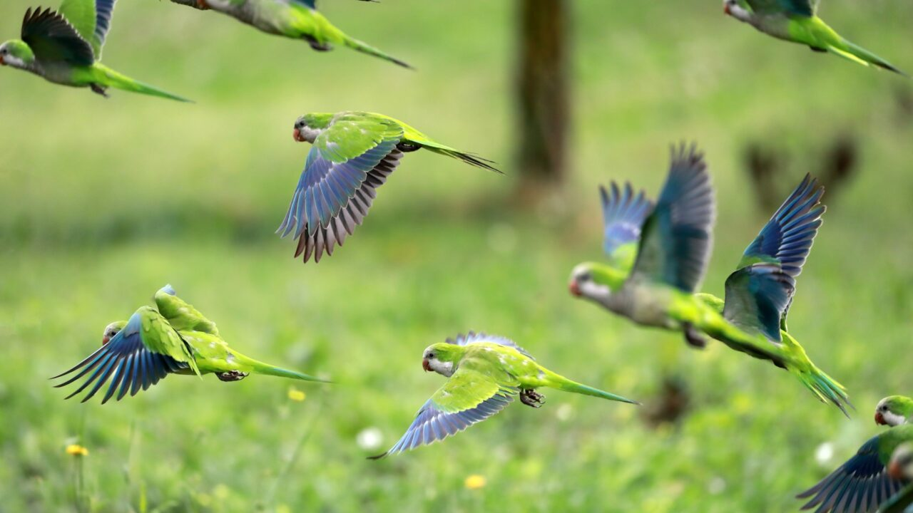 https://seekmediation.com/wp-content/uploads/2020/09/flock-of-flying-birds-green-and-blue-parrots-stand-out-in-group-flight_t20_E4KwmY-1280x720.jpg